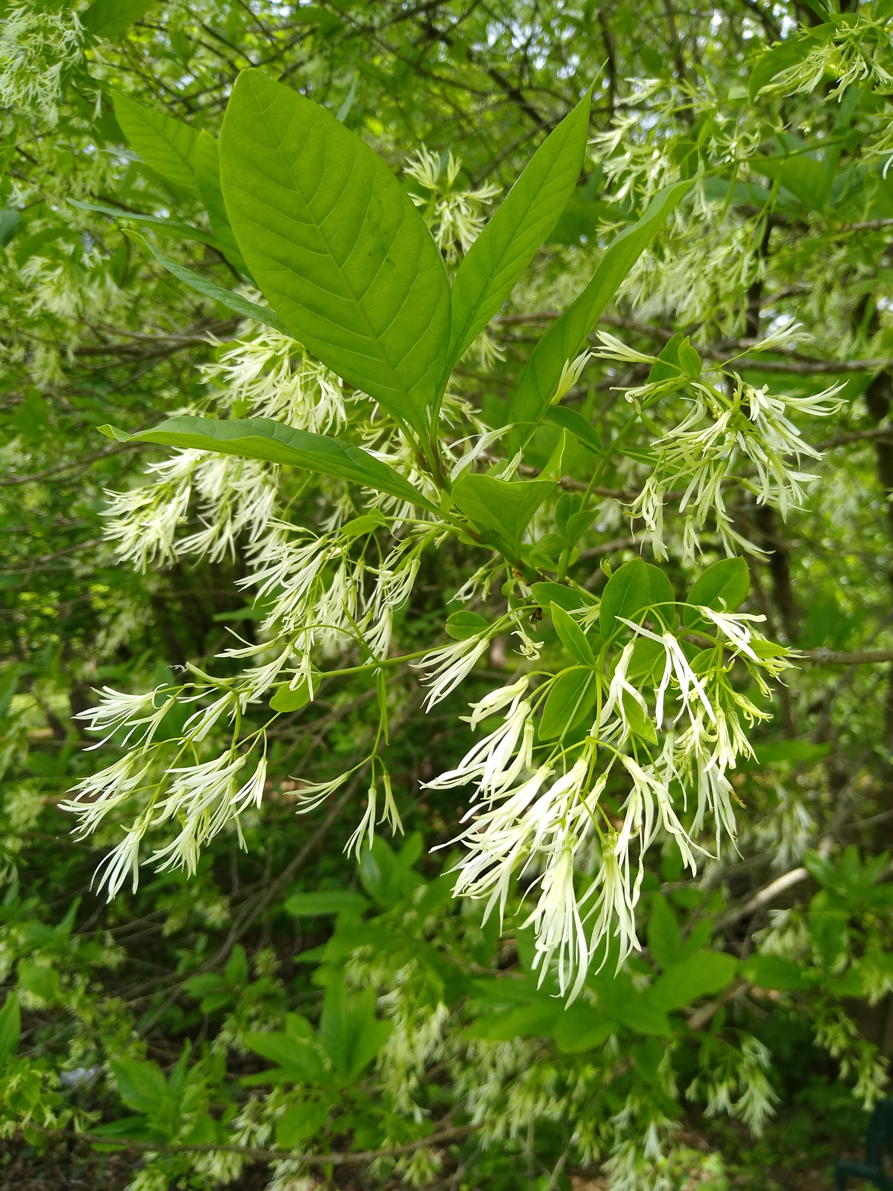 closeup of white fringe tree flowers and green leaves