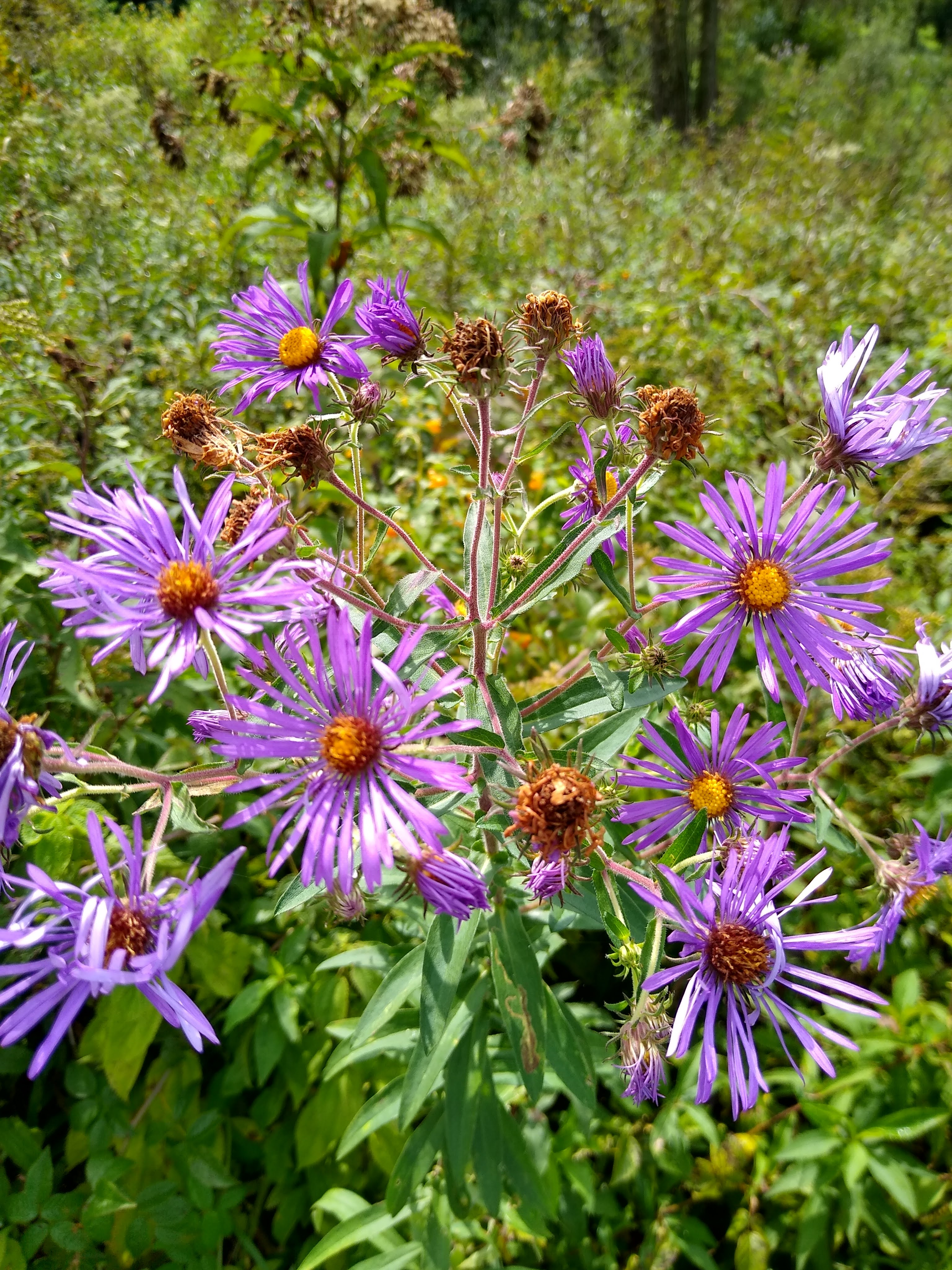 purple and yellow aster flowers
