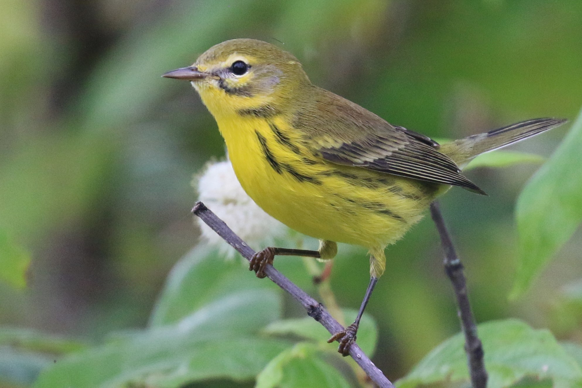 Prairie warbler perched on a branch