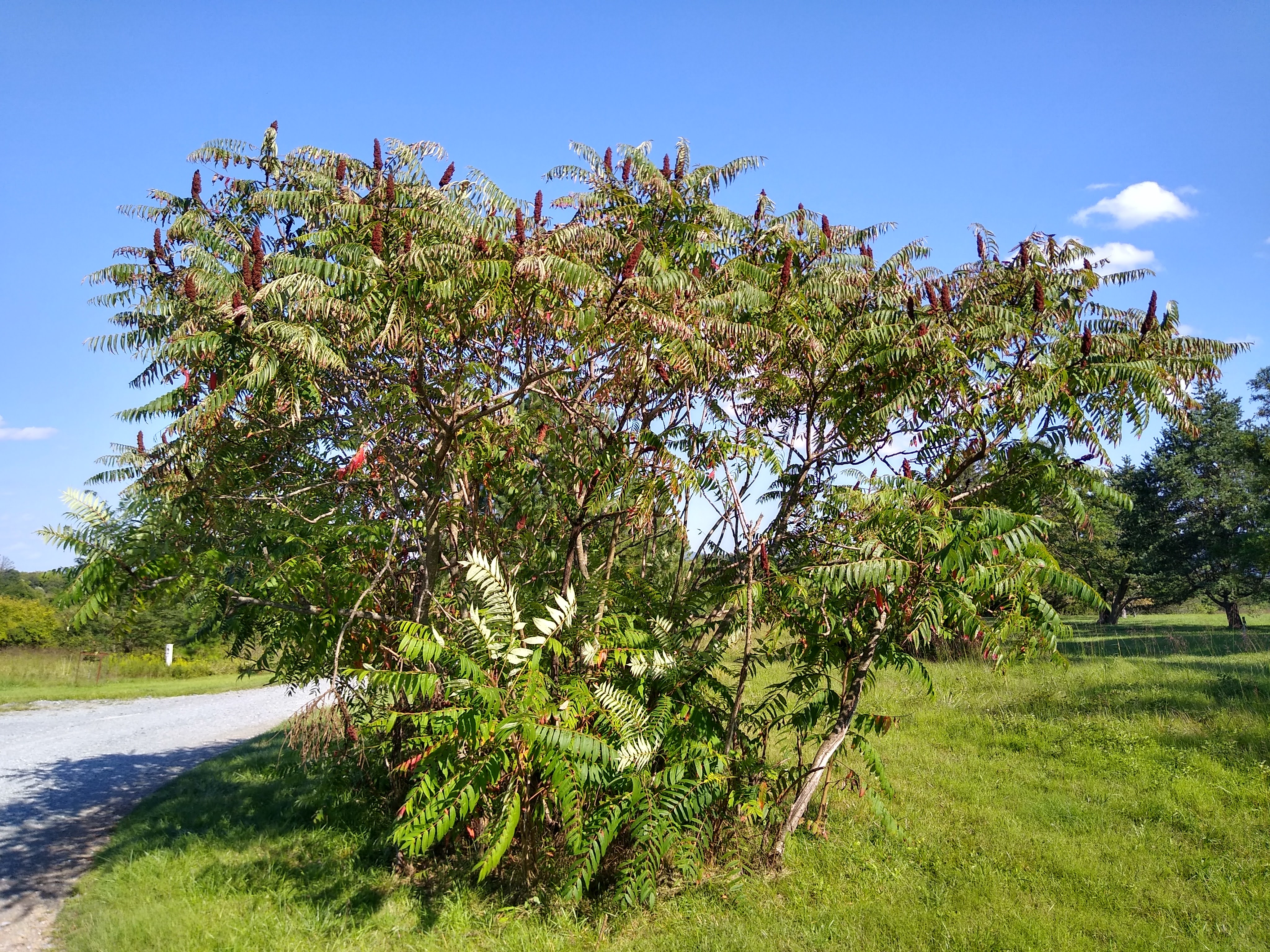 Smooth Sumac bush in front of a blue sky