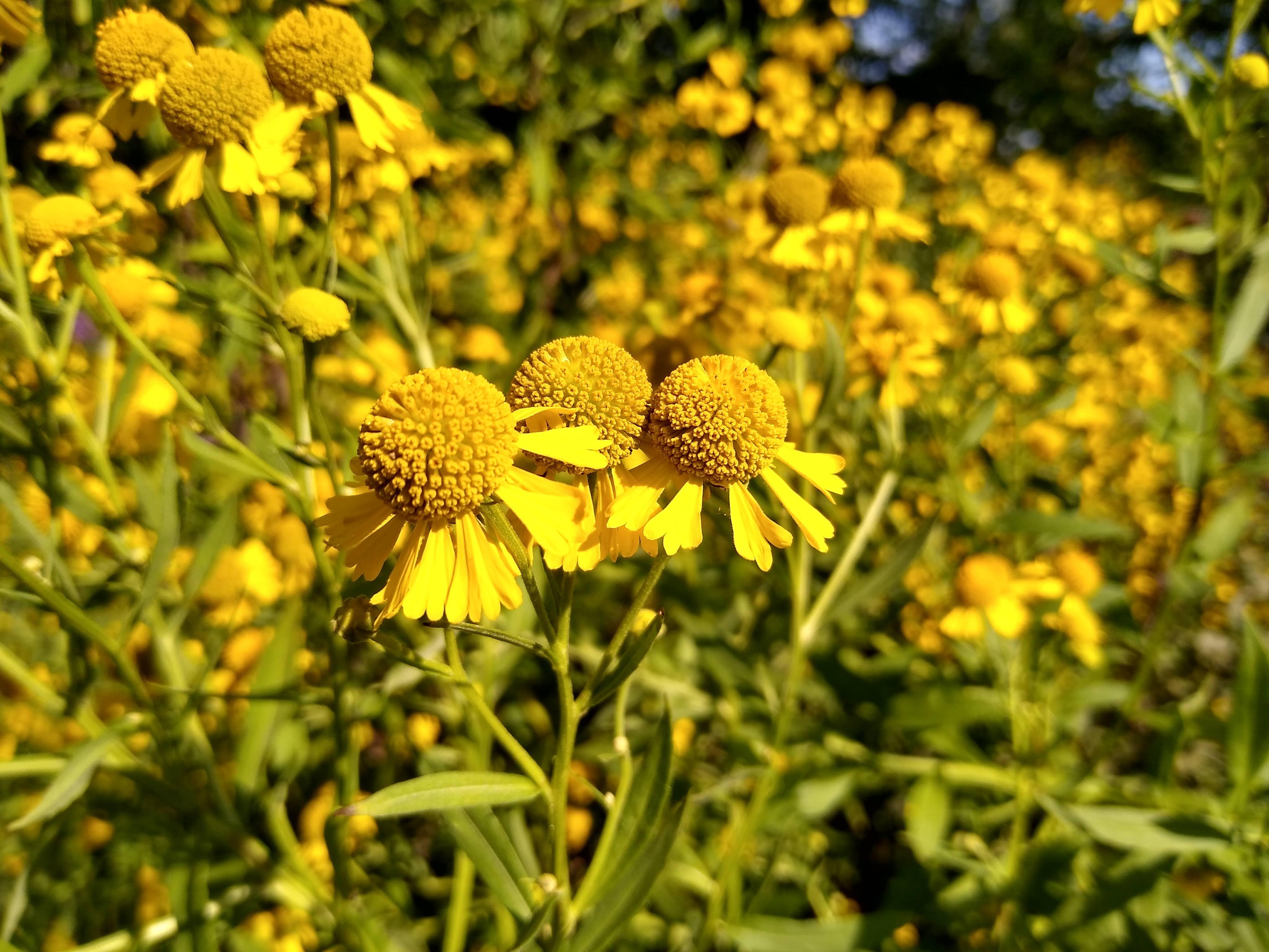 Yellow sneezeweed flowers