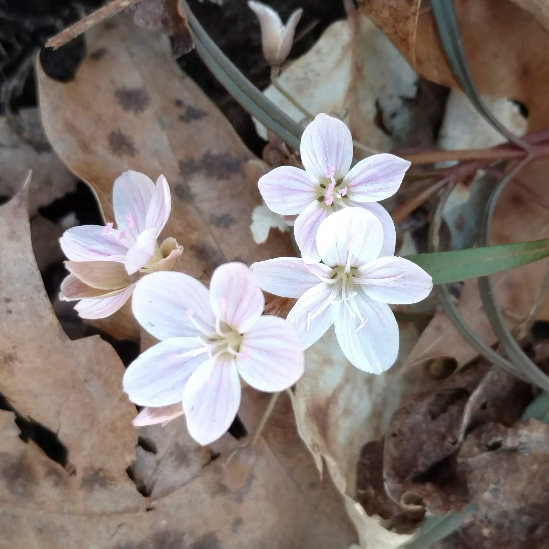 White and pink flowers surrounded by brown leaves