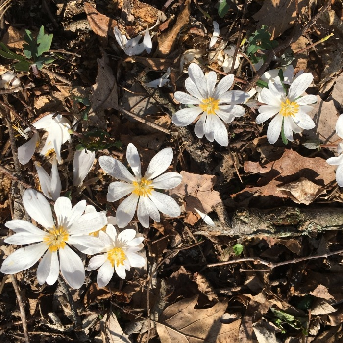 White bloodroot flowers surrounded by brown leaf litter