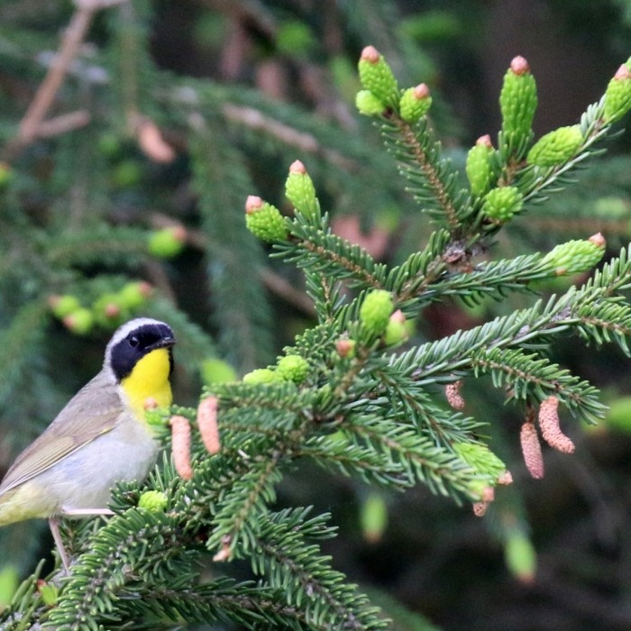 Common Yellowthroat on a Spruce tree